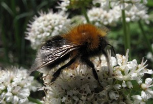bombus-hypnorum_tn
