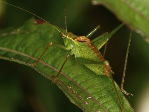 speckled-bush-cricket_tn